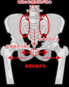 リラキシンの影響で骨盤が変化
